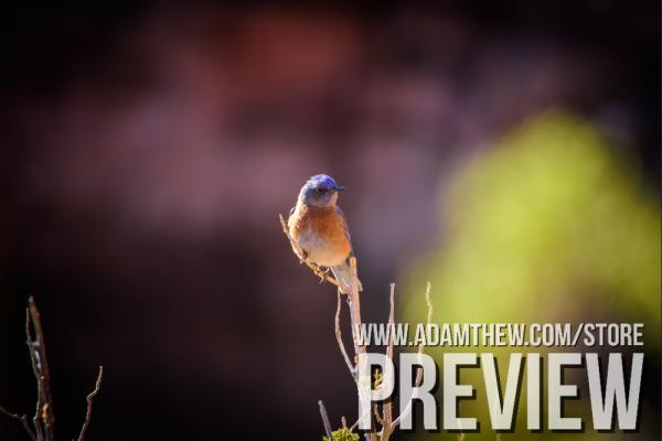 Beautiful Western Blue Bird