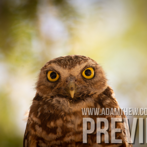 Burrowing Owl Staring Contest
