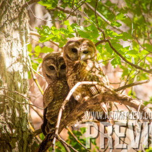 Lovebirds, Mexican Spotted Owls