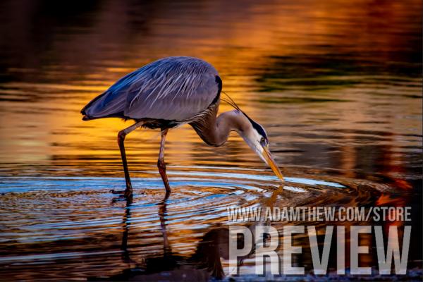 Great Blue Heron Hunting Dinner, Golden Hour