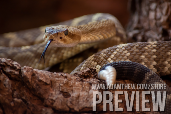 Danger Noodle, Blacktail Rattlesnake