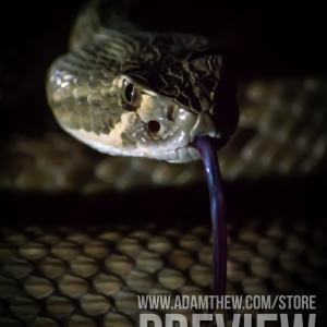 Danger Noodle, Mojave Rattlesnake (2)