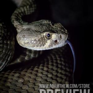 Danger Noodle, Mojave Rattlesnake (3)