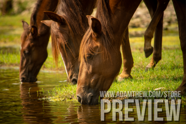 Thirsty Horses Drink From River (2)
