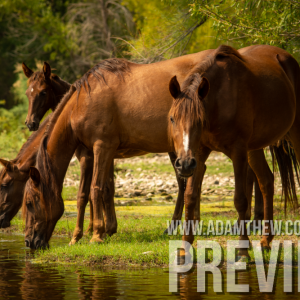 Thirsty Horses Drink From River (1)